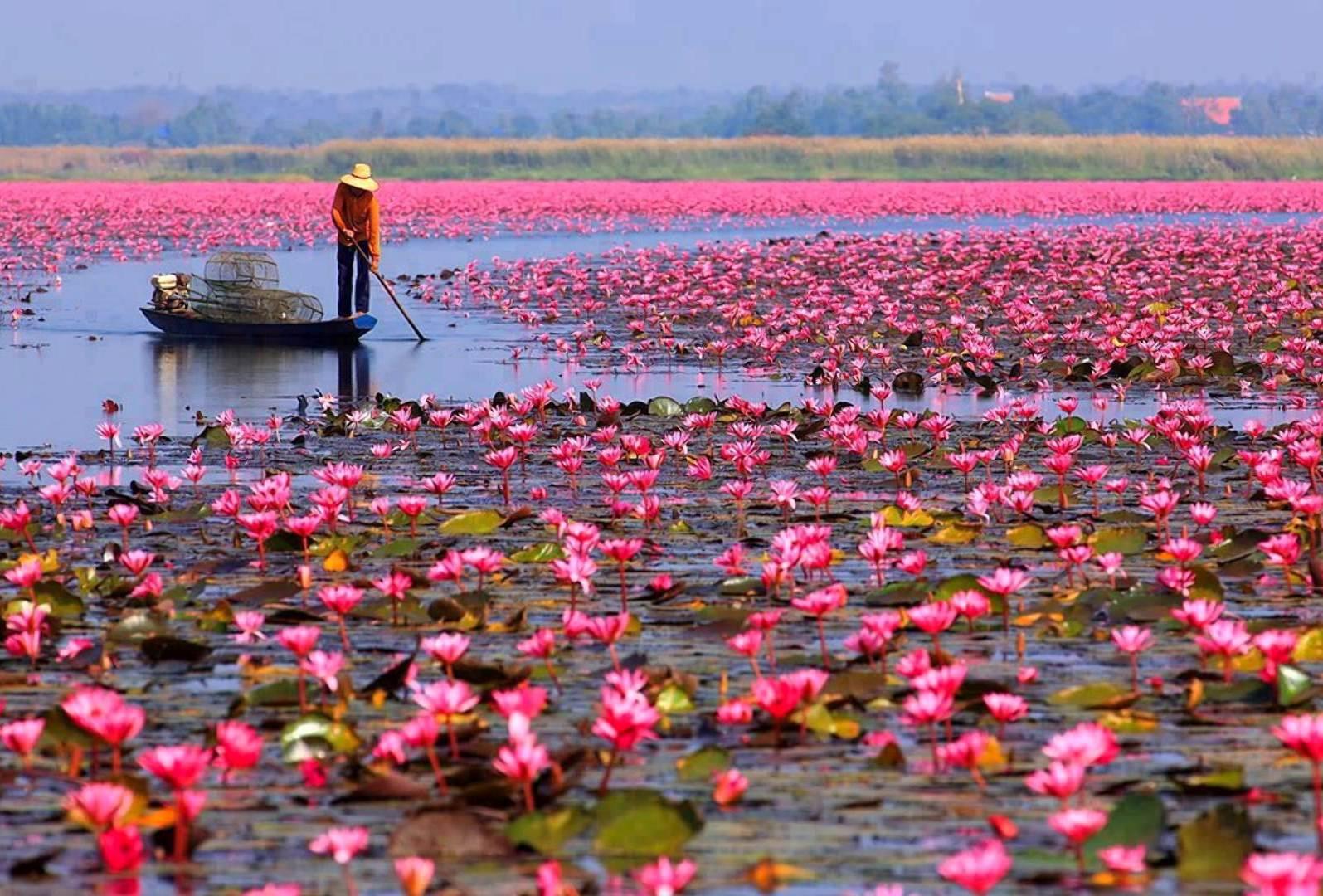puteshestvie na plantacii lotosa